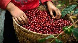 """Giá nông sản hôm nay 3/10: Giá cà phê tăng """"sốc"""", nông dân dần bỏ hồ tiêu"""