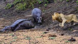 Mẹ gục xuống bùn, hà mã con quyết chiến đánh đuổi sư tử khát máu
