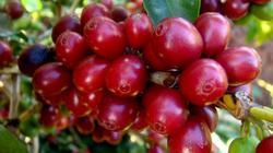 Giá nông sản hôm nay 5/10: Giá cà phê, giá tiêu cùng bật tăng mạnh