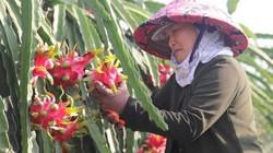 Trung Quốc bất ngờ dừng mua thanh long, vạn nông dân Việt liêu xiêu