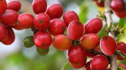 Giá nông sản hôm nay 8/10: Giá cà phê sắp cán mốc 36.000 đồng/kg, giá tiêu không đổi