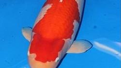 Người phụ nữ chi 41,5 tỷ đồng mua con cá có 2 màu trắng, đỏ