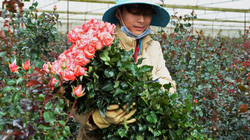Đà Lạt: Giá hoa hồng tăng đột biến, nhà vườn lãi lớn