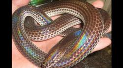 Làm chuồng nuôi rắn vảy ngũ sắc, cho ăn nhái, cứ 1 con lời 100 ngàn