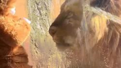 Bé trai mặc trang phục sư tử khiến sư tử thật ngạc nhiên
