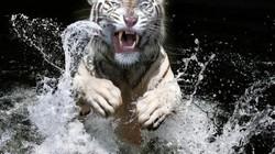 Hồ trắng quý hiếm vồ chết người chăm trong vườn thú Nhật Bản