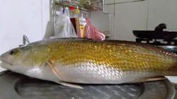 TT-Huế: Ngư dân câu được cá vàng óng, nghi cá sủ vàng quý hiếm