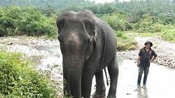 Về với Ya Tao - con voi cuối cùng của Bắc Tây Nguyên