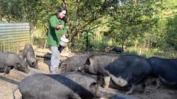 Khấm khá nhờ mát tay dùng vốn nuôi đàn lợn đen 50 con