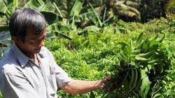 Trồng rau rừng hoang dã, ít sâu rầy, hái mỗi ngày, tiền đều tay