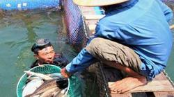 Cá nuôi chết hàng loạt ở Dung Quất do thay đổi môi trường