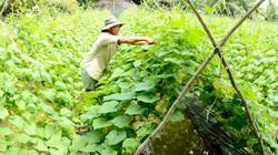 """Kiên Giang: Mùa nước nổi trồng dưa leo, mướp hương """"hốt bạc"""""""