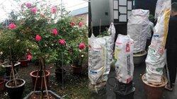 Bỏ 100 triệu mua 40 gốc hồng, chở xe từ Hà Nội vào Sài Gòn tặng vợ