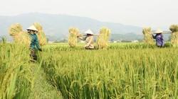 """Điện Biên: Được mùa """"ngọc Trời"""" trên cánh đồng Mường Thanh"""