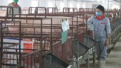 Giá heo hơi hôm nay 22/10: Nhiều người bán tháo, giá lợn hơi tiếp tục giảm
