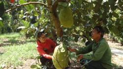 """Bí quyết trồng mít Thái trái """"to vật"""" lãi hơn nửa tỷ đồng"""