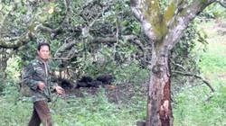 Thực hư bọ xén tóc hại cây điều nghiêm trọng đến nỗi... hốt hoảng