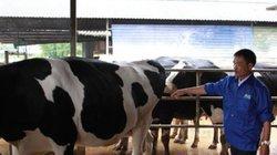 Triển khai chương trình sữa học đường: Cần mở rộng quy mô đàn bò