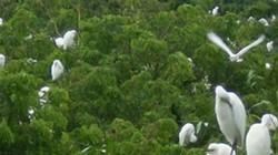 Trà Vinh: Độc đáo ngôi chùa có đủ thứ cò đậu kín trên cây