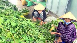 Cà Mau: Bất thường việc thu mua lá nhàu tươi