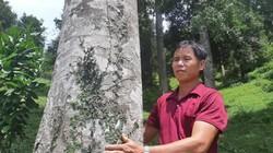 """Bí ẩn cây trám độc nhất vô nhị """"đẻ ra tiền"""" ở miền biên viễn xứ Lạng"""