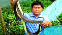 Hậu Giang: Nuôi rắn ri đẻ trong vèo, lợi nhuận 400 triệu/năm