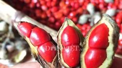 'Thủ phủ' trồng đặc sản dổi đổi vàng 9999 xứ Mường vào mùa thu hoạch