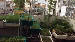 Địa chỉ xanh- Nông sản sạch: Lo thực phẩm không an toàn, dân phố đua nhau trồng rau sạch thời 4.0