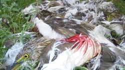 Nghệ An: Rùng mình, chim trời bị khâu mắt, vặt lông sống giữa đồng