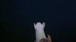 """Loài vật siêu hiếm giống """"bóng ma"""" trôi lững lờ dưới đáy biển"""