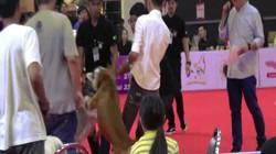 Video: Cảnh chó pit bull hung dữ cắn cổ husky không rời ở Thái Lan
