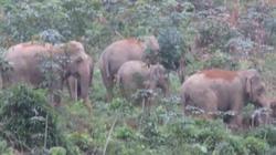 Nghệ An: Xuất hiện đàn voi rừng 4 con phá nát vườn cây nhà dân