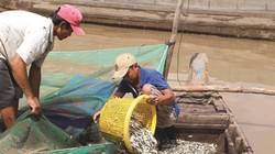 """An Giang: Đón mùa cá ra đồng, """"hốt hụi chót"""", bắt 150-200 ký/ngày"""