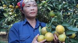 """Mùa vàng """"thủ phủ"""" cam Cao Phong: Nông dân thu vàng từ trái vàng"""