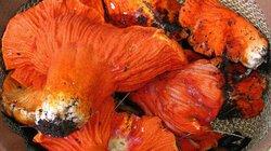 """Loại mốc đặc biệt có khả năng biến các cây nấm thành """"thịt tôm hùm"""""""