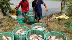 Rộn rã bắt cá ruộng mùa lũ, chả phải cho ăn, cá tự lớn