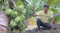 Làm du lịch vườn nhờ trồng dừa thơm mùi lá dứa, trái sát đất