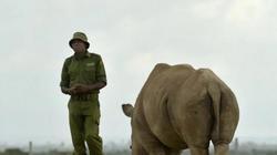 Tê giác trắng phương bắc đực cuối cùng qua đời và thông điệp gửi đến TQ
