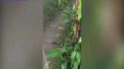 Ấn Độ: Khách hãi hùng vì bị hổ đuổi khi tham quan trong rừng