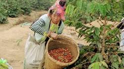 Điện Biên: Vay 500 triệu trồng cà phê, gặp cảnh mất mùa, lỗ 300 triệu