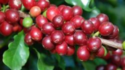 Giá nông sản hôm nay 16/11: Giá cà phê tăng 300 đồng/kg, giá tiêu không đổi