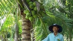 Mỗi tháng có 30 triệu đồng từ vườn dừa xiêm cây nào cũng đeo trái