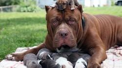 """Muốn chó Pitbull không """"phản chủ"""", người nuôi cần biết những kiến thức này"""