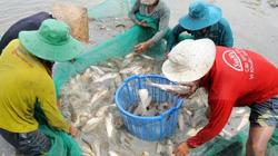 Nuôi cá ruộng mùa lũ, cá ăn gốc rạ, cỏ dại, côn trùng có hại mà lớn