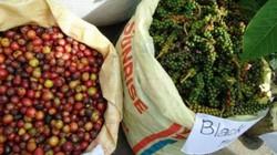 """Giá nông sản hôm nay 22/11: Giá cà phê tiếp tục giảm 200 đồng, giá tiêu """"mất"""" 1.000 đồng"""