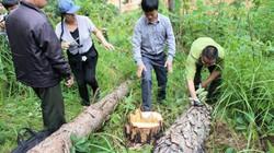 Vụ đầu độc hơn 600 cây thông ở Lâm Đồng: Chỉ đạo khẩn