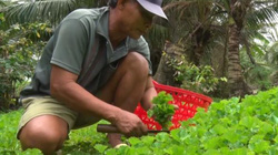 """Kiên Giang: Nhổ rau má đồng về trồng trong vườn, tiền đều như """"vắt chanh"""""""