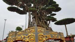 Siêu cây sanh 13 tỷ đồng đại náo giới sinh vật cảnh Hà Nội