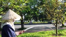Thành phố Huế: Hoa mai nở rộ vì nắng nóng giữa mùa đông