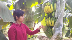 Hà Nội: Kinh hoàng vườn chuối 3.000 cây nghi bị kẻ xấu phun thuốc ép chín